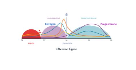 Estrogen , Progesterone and Uterine Cycle